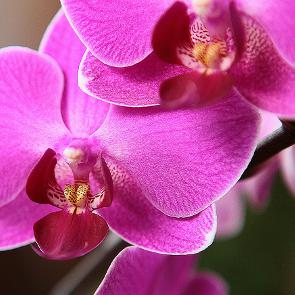 How to Care for Phalaenopsis