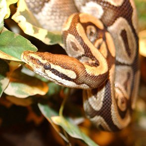 How to Care for Ball Pythons