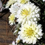 Chrysanthemum Day in Japan
