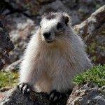 Marmot Day in Alaska