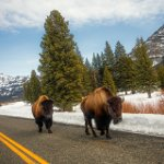 National Bison Day in the US
