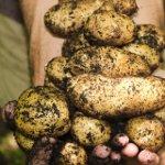 National Potato Day in Peru