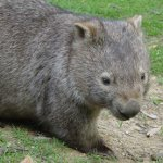 Wombat Day in Australia